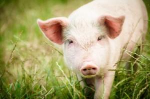 pig-slide