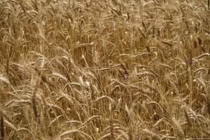wheat-field press