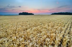 Golden-Waves-of-Grain