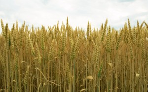 Golden yellow wheat wallpapers 1920x1200 (16)