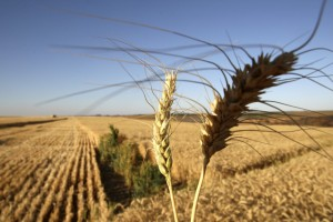 french_wheat