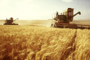 grain_harvesting_wheat1
