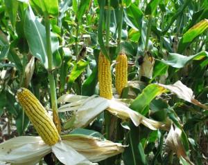 maize)