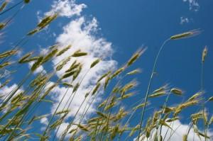 winter_wheat-740x493