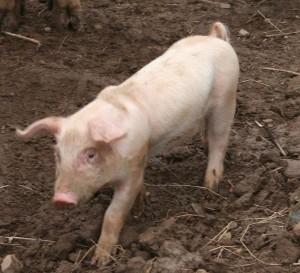 Pigs Piglet 03