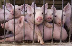 british-pig-farmers-quit