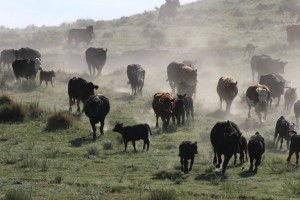 cattle24
