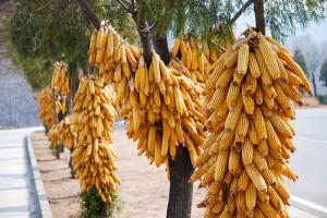 chineese_corn