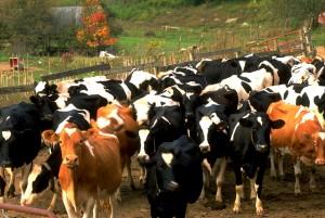 dairyherd