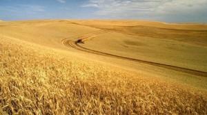 grain_crop