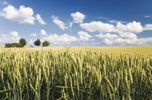 organic-grain