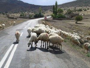 Sheep on highway in central Anatolia