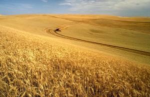 usda_wheat