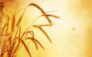wheat-field-landscape-picture_1920x1200_79604
