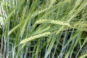 Barley7-8a_0