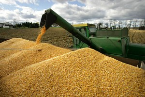corn-top