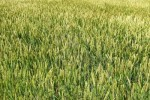 field-of-winter-wheat-swaying-in-the-breeze