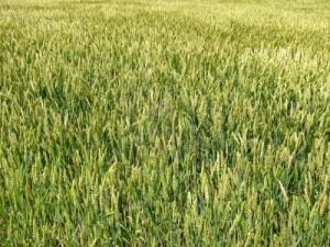 field-of-winter-wheat-swaying-in-the-breeze