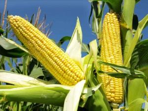 Corn_Detail_Horizontal_960x720