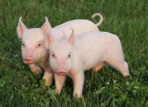 pig-pair1