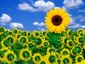 sunflower-pictures
