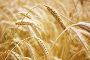 wheat2102