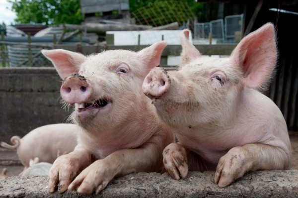hogs-