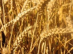 wheat29