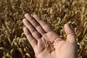 europe wheat