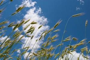 winter_wheat