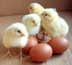 brown-poultry-eggs-928152