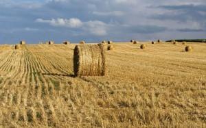 wheat-fields