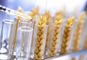 gmo-wheat1