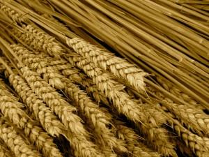 wheat)