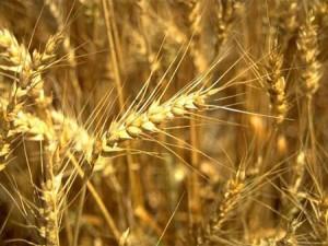 wheat306