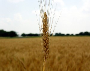 wheat706
