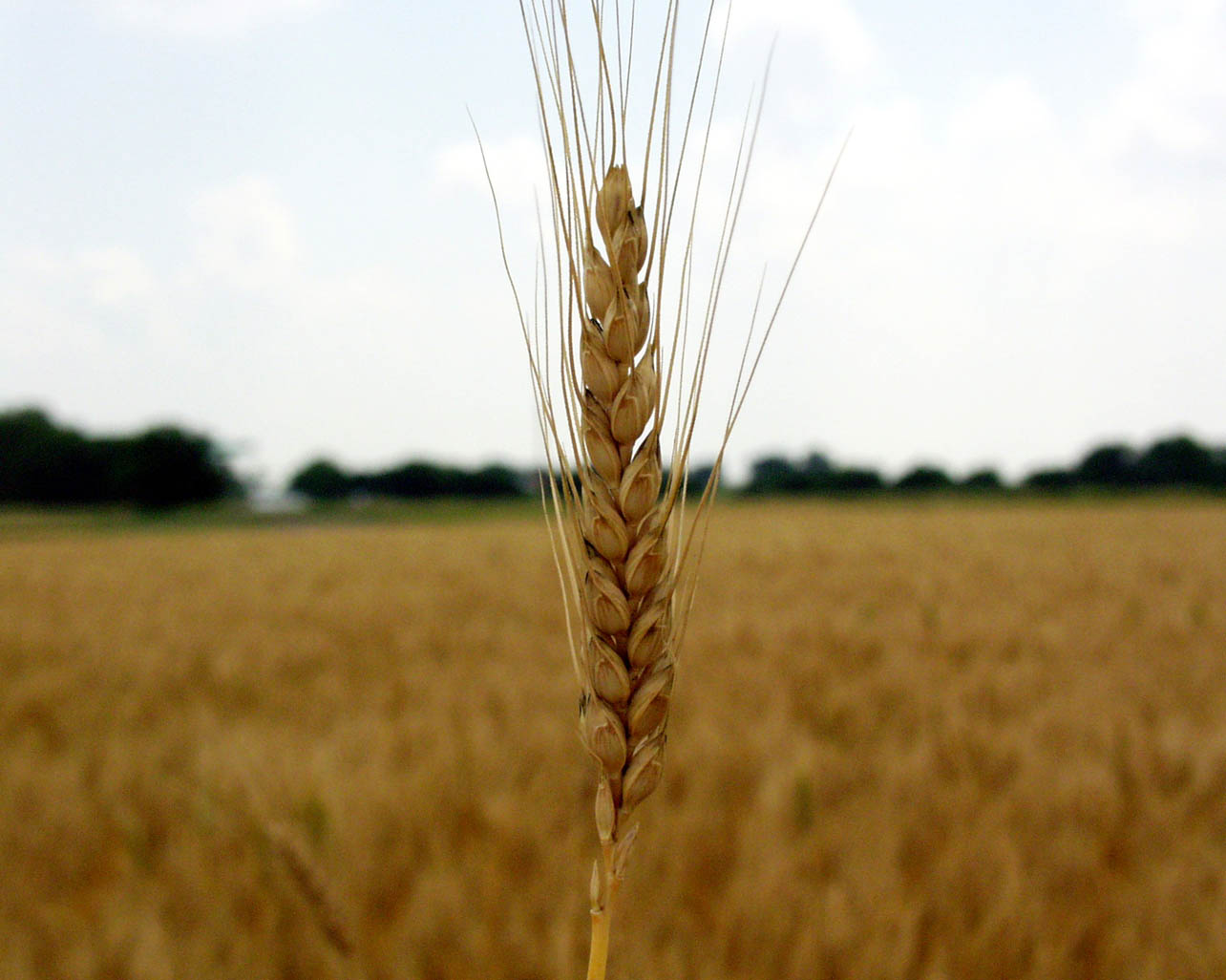 Grower groups back GM wheat | Agrodaily