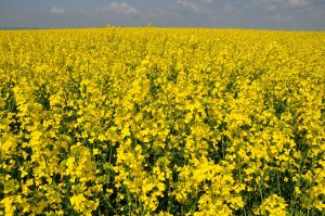 Rapeseed_field_ad