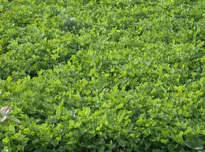 cover_crop
