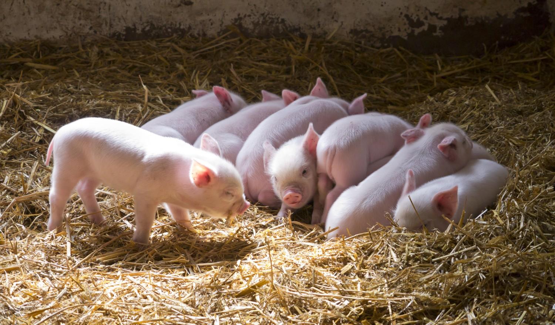 Chester white pig