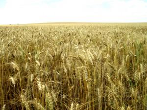 wheat2507