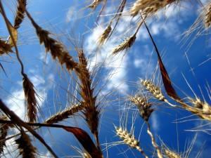 wheat_1507