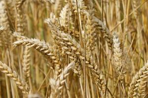 wheat_ad