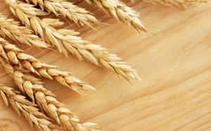 wheat 1908