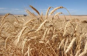 wheat0442LK1