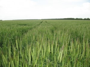 barley3009