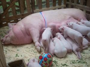 breeding_pigs