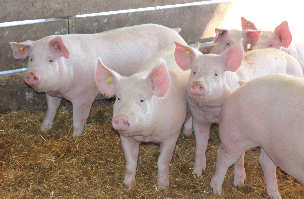 More Sows But Fewer Slaughter Pigs in Denmark | Agrodaily