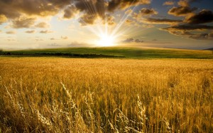 ukraine_wheat2209