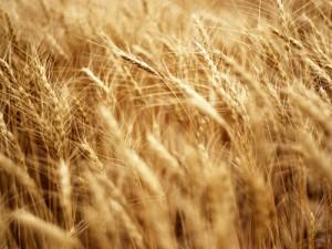 wheat1109